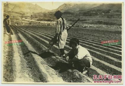 民国时期在田间种植豆子的农民小女孩老照片,农村农业生产。15.7X10.6厘米
