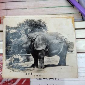 早期的黑白老照片:印度犀(产地:印度`尼泊尔)