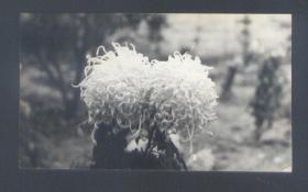 狮子头白菊花