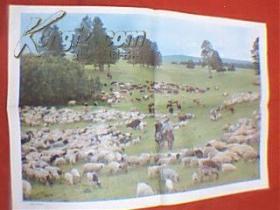 彩色图片:内蒙古草原牧场(此为对开画,宽76厘米,高52厘米;表现了内蒙古大草原上风光优美、牛羊成群的壮丽场景;印刷品;原为教学挂图)