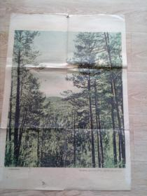 大兴安岭的原始森林   挂图