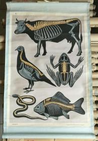 高小自然课本第二册教学挂图一轴:脊椎动物的脊柱【有】