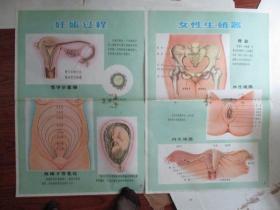 早期宣传画:新法接生挂图(供赤脚生用)【女性生殖器】【妊娠过程】2张合售