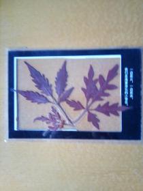 枫叶过塑标本