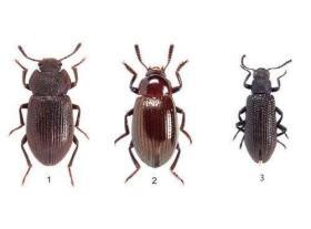认识 的昆虫(1)步行虫科 炮步行虫科