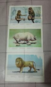 常见动物(幼儿学习挂图)有猪、牛、猴、狮、猫等(10张)可单买
