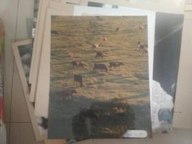 著名军旅摄影家 曹文 摄影作品 草原红牛