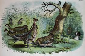 1897年版《北美鸟类图谱》系列版画——草原松鸡/彩色石板画/38x30cm