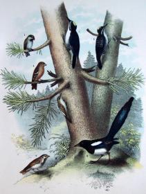 1897年版《北美鸟类图谱》系列版画——黑背啄木鸟/彩色石板画/38x30cm
