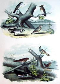 1897年版《北美鸟类图谱》系列版画——雪松鸟/彩色石板画/38x30cm