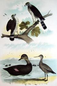 1897年版《北美鸟类图谱》系列版画——鸽鹰/彩色石板画/38x30cm