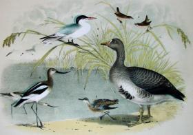 1897年版《北美鸟类图谱》系列版画——白额雁/彩色石板画/38x30cm
