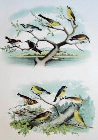 1897年版《北美鸟类图谱》系列版画——绿山雀/彩色石板画/38x30cm