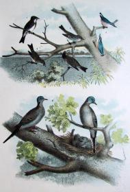 1897年版《北美鸟类图谱》系列版画——卡罗来纳州鸽子/彩色石板画/38x30cm