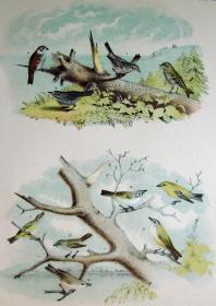 1897年版《北美鸟类图谱》系列版画——草原麻雀/彩色石板画/38x30cm