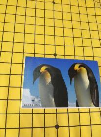 罗红南极帝企鹅作品明信片(全12枚)