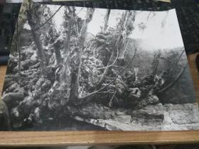 大幅黑白老照片----树根