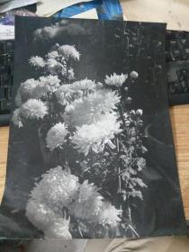 大幅黑白老照片---菊花