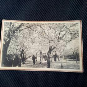(12)东北早期日俄战争后:日本移民建设东北场景……观看樱花盛开,明信片格式老画片。