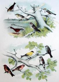 1897年版《北美鸟类图谱》系列版画——尖尾沙鹀/彩色石板画/38x30cm