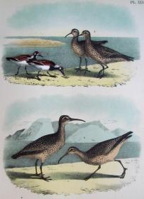 1897年版《北美鸟类图谱》系列版画——翻石鹬/彩色石板画/38x30cm