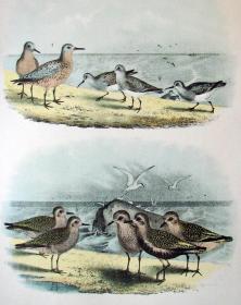 1897年版《北美鸟类图谱》系列版画——红颈滨鹬/彩色石板画/38x30cm