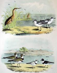 1897年版《北美鸟类图谱》系列版画——姬苇鳽/彩色石板画/38x30cm