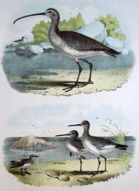 1897年版《北美鸟类图谱》系列版画——长嘴鹨/彩色石板画/38x30cm