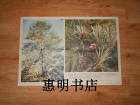 初级中学课本植物学教学挂图--我国珍贵的植物资源(7-1)银杉[2开]