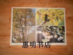 初级中学课本植物学教学挂图--我国珍贵的植物资源(7-3)银杏[2开]