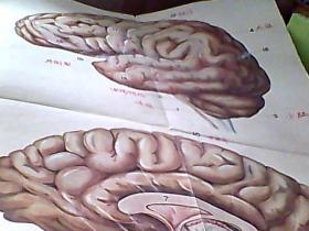 【刘莜蕰绘】人体解剖生理学教学挂图-----神经系统(脑的侧面和脑的纵切面)