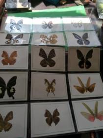 西双版纳景区 蝴蝶标本15枚