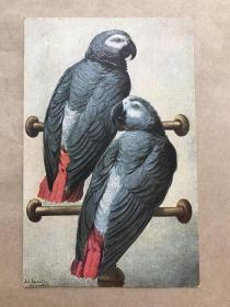 五十年代德国彩色明信片:双鹦鹉图案1张(摄影版),M038