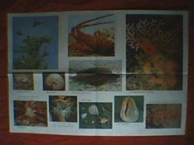 陈龙小、陈赛英拍摄的组画:富饶的西沙群岛(此为两张对开画,均为宽76厘米,高52厘米;载有介绍西沙群岛美丽风景和丰富物产的图片24幅,如《鲣鱼》、大龙虾、宝贝、鹦鹉螺、大海龟、石笔海胆、海葵、贝壳、唐冠螺、梅花参、珊瑚、飞虎鱼、气鼓鱼、二带双锯鱼、躄鱼、旗鱼、神仙鱼、刺尻鱼、高鳍尾鱼、海马、飞鱼、黑背蝴蝶鱼、鳞鲀、《甲尻鱼》等'印刷品;原为教学挂图)