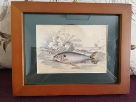 【欧洲版画】手工上色版画- 鲮脂鲤鱼 Prochilodus Binotatus 1865年 绘画作者:Stewart 版画作者:Lizars(画心:14*9.5;外框:23*18,带框,具体如图)