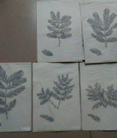 水杉标本五种