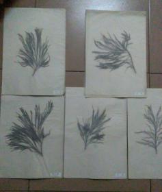 水松标本五种