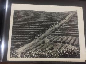 新华社老照片-湖南省湘潭县韶山公社茶园一角