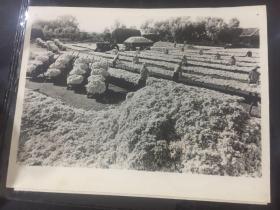 新华社老照片-安徽省宿松县人民公社复兴产棉区,人民公社社员在晒棉花