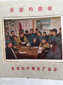 摄影幻灯片《京郊来广营和平农业社养猪的经验》