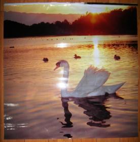 天鹅(塑料挂历画片,画幅:50 x 50 cm  共5张)