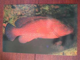 热带鱼明信片1一张,(空白)