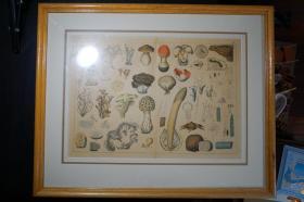 十八世纪全彩精绘菌菇百科铜版画页