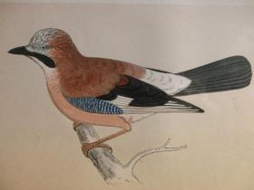 【百元包邮】1851年 手工上色 石版画 鸟类 松鸦 JAY  尺寸约25×15.5厘米  (货号301001)