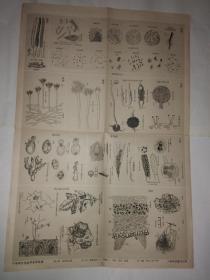 中等学校植物学教学挂图第三组植物基本群 第三幅 藻类植物三菌类一 细菌、黏菌、真菌