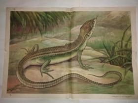 动物学教学挂图 脊椎动物——爬行纲 蜥蜴