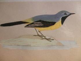 【百元包邮】1852年 手工上色 石版画 鸟类 灰鹡鸰 GERY WAGTALL  尺寸约25×15.5厘米  (货号301006)