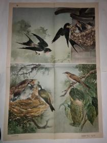 初中中学动物学教学挂图 脊椎动物——鸟纲第二辑10鸟的筑巢与育雏