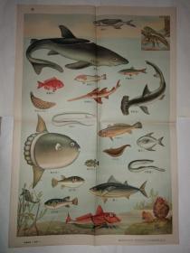 动物学挂图 第一组脊椎动物——渔类(一)