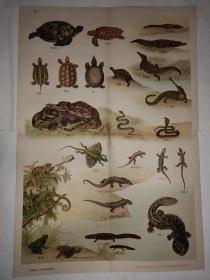 动物学挂图 第一组脊椎动物——爬行类和两栖类